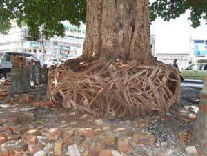 Banyan-tree-in-Ahata-Kirpa-Ram-Bank-Road-Rawalpindi