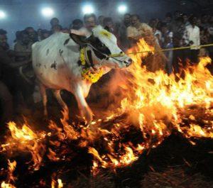 cattle-on-fie-3